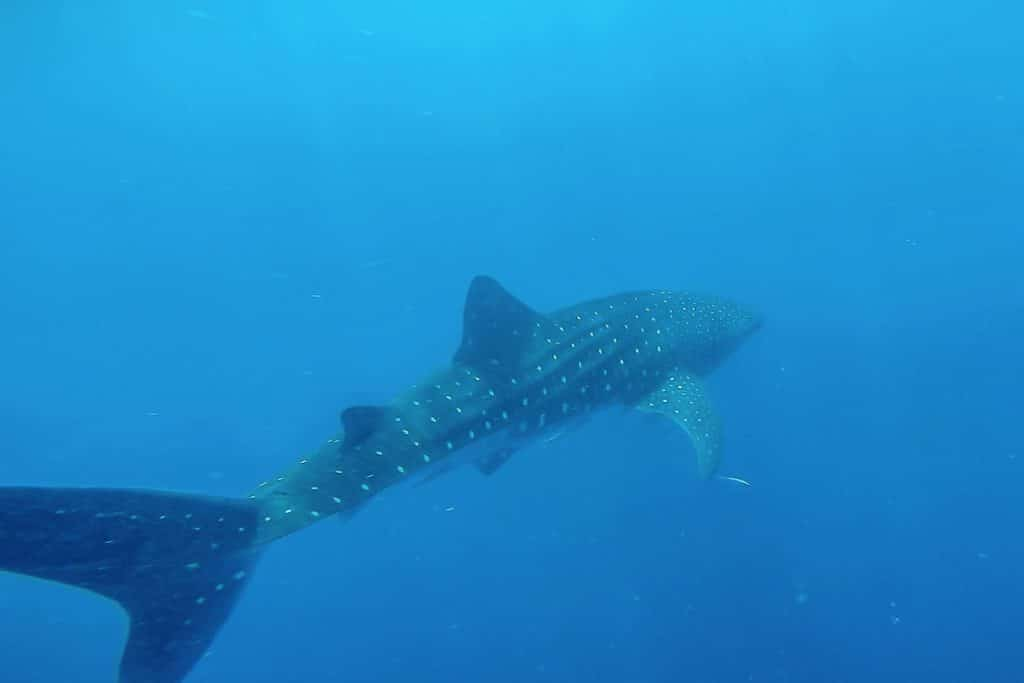 Requin-baleine Nosy Iranja