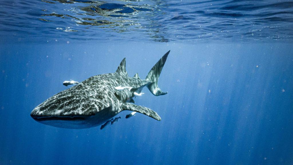 requin-baleine safari