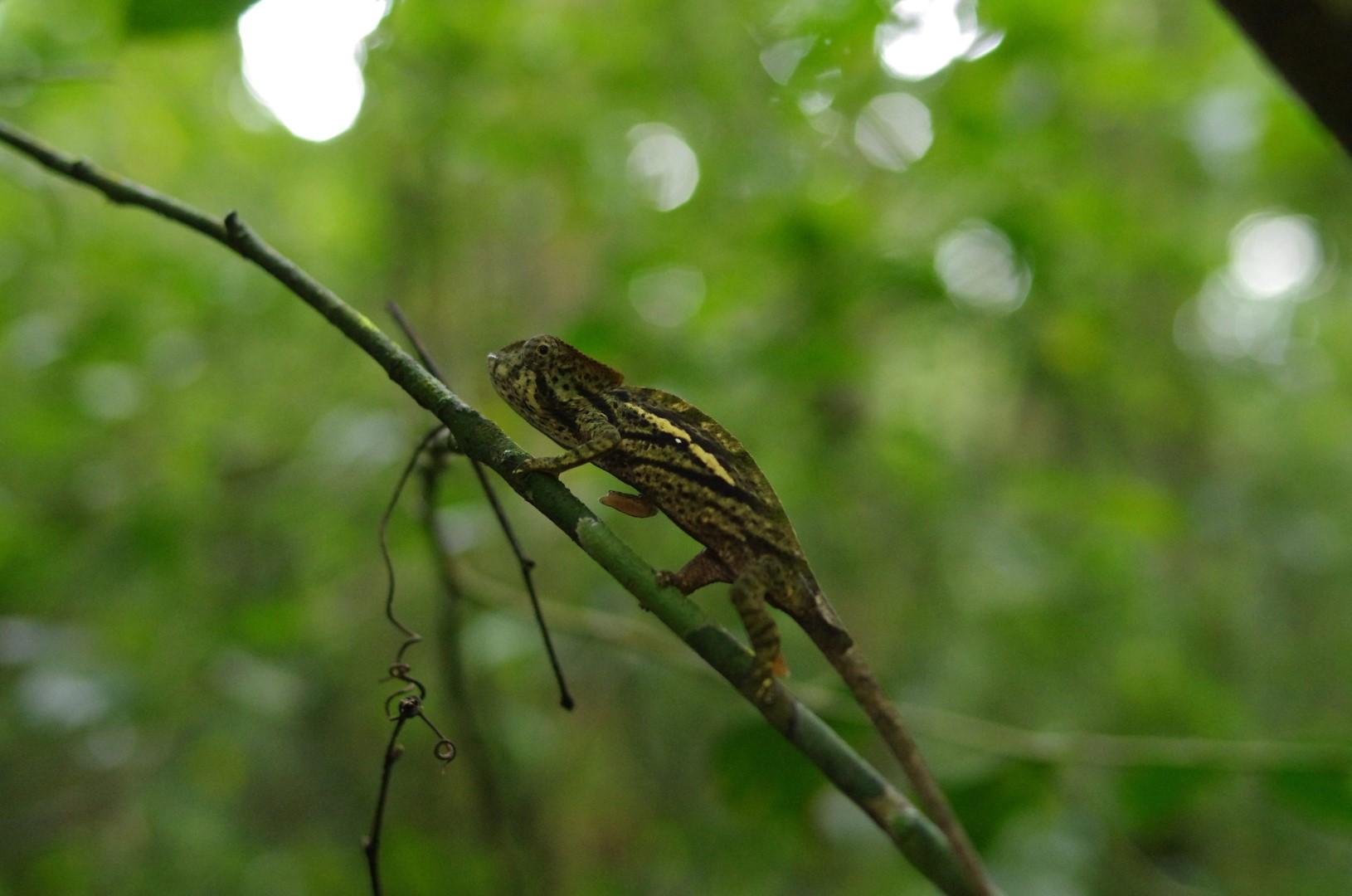Reptile Madagascar