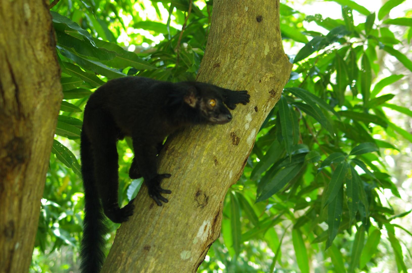 Lémurien perché dans un arbre Madagascar